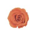 ローズ・ミミ  パッションオレンジ 60%OFF ※メーカー廃盤による在庫処分価格です。