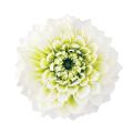 ダリア・グレイス ホワイト/グリーン 04680-017