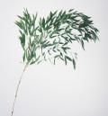 竹の葉・プリザーブド グリーン