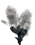 スモークツリー ブラック