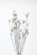 ニゲラオリエンタリス ウォッシュホワイト10380-012