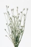 シャーリーポピー ウォッシュホワイト 10600-012