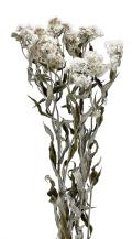 アナハリスHL N.ホワイト 17534