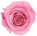 ローズ・かのん・L プリンセスピンク