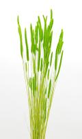 エノコロ草 ライトグリーン