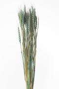 小麦 ターコイズ 50080-630