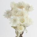 シルバーデージーミニ N/ホワイト