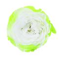 ローズ・ブリリアント ホワイト/グリーン メーカー廃盤セール 60%OFF