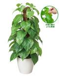 光の楽園(光触媒観葉植物)フレッシュポールポトス