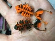 踊る接骨院(ベイビー) 2.5 マッディーオレンジ