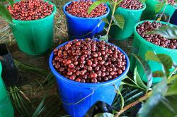 エチオピア「シダモ・グジ サワナ農園」(フレンチロースト)