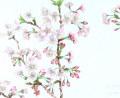 花の絵・ 志村好子 「心の花(桜)」 水彩4号 外寸411×500mm