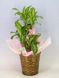 ♪送料無料♪ドラセナ マッサンゲアナ(幸福の木)7号鉢 かご・受け皿付き