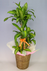 ♪送料無料♪ドラセナ マッサンゲアナ(幸福の木)8号鉢 かご・受け皿付き