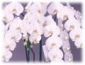 【送料無料】特注品 高級胡蝶蘭 白 15本立ち 150輪以上