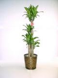 売れ筋No.1♪送料無料♪ドラセナ マッサンゲアナ(幸福の木) 10号鉢(尺鉢)高さ170cm