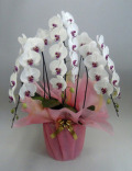 【送料無料】最高級胡蝶蘭 セミアルバ(白赤)  3本立 40輪以上