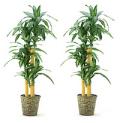 ♪送料無料♪【光触媒】ドラセナ マッサンゲアナ(幸福の木)3本立ち かご付き 高さ160cm ★2鉢でお買い得(在庫なし)