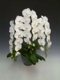 【送料無料】洋蘭の鉄人森田洋蘭園-胡蝶蘭(大輪)白 3本立ち35リン