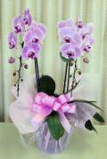 【送料無料】大沢洋蘭園ーコチョウラン ピンク 2本立