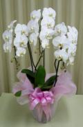【送料無料】大沢洋蘭園ーコチョウラン 白 3本立 27輪