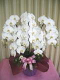 【送料無料】大沢洋蘭園ー胡蝶蘭大輪系 白赤 5本立 特選品