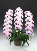 【送料無料】おぎの蘭園ー胡蝶蘭19輪 薄ピンク大輪:苺みるく