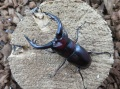クチノエラブノコギリ66ミリ