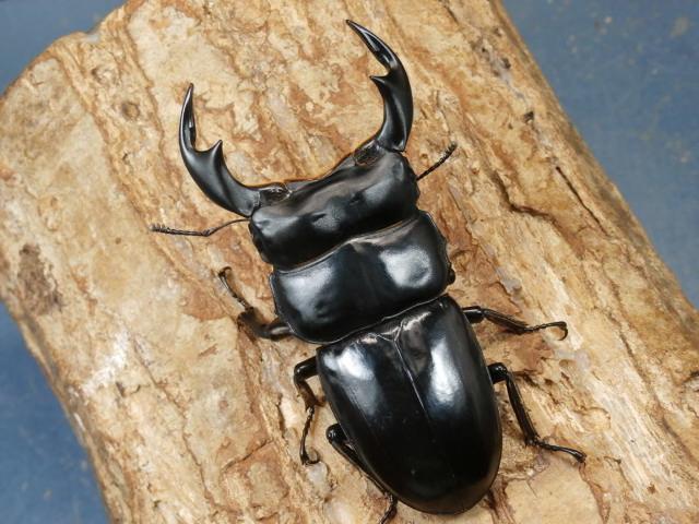 アンタエウス(インドアンテ)幼虫3頭 No.3251