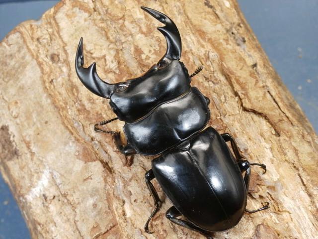 アンタエウス(ミャンマーアンテ)幼虫3頭 No.3272