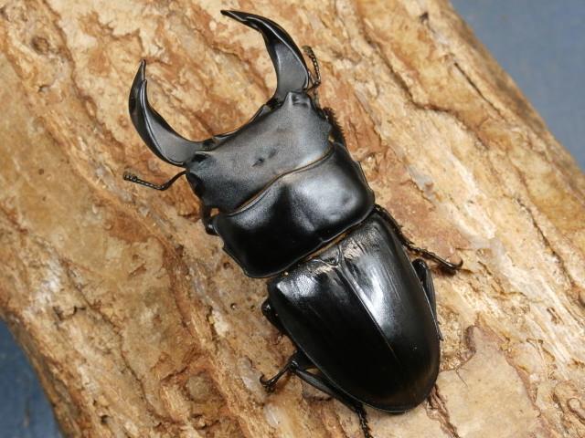 ホペイオオクワ幼虫3頭 No.3639