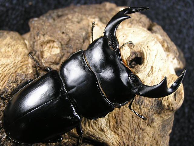 アンタエウス(インドアンテ)幼虫3頭 No.1213
