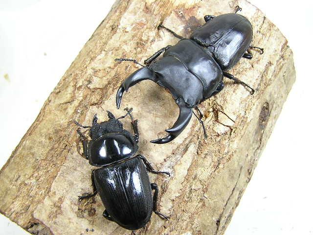 国産オオクワガタ幼虫3頭セット No.500