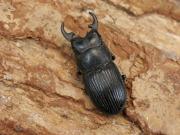 プラティオドンネブト幼虫3頭  No.3675