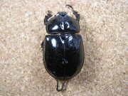 ダビディスカブト♀標本