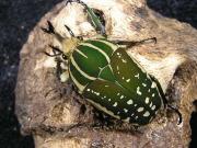 ポリフェムスオオツノカナブン幼虫 No.1266
