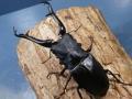 ギラファノコギリ(フローレス)幼虫3頭  No.2836