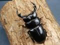アンタエウス(インドアンテ)76ミリ♂♀ペア No.2856