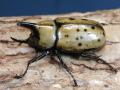 ティティウスシロカブト52ミリ♂♀ペア No.3065