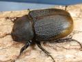 ヘラクレス・エクアトリアヌス産卵済♀単品 No.3069