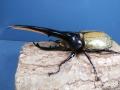ヘラクレス(ヘラヘラ)135ミリ♂♀ペア No.3316