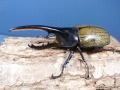 ヘラクレス(ヘラヘラ)110ミリ♂♀ペア No.1228