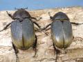 ヘラクレス(ヘラヘラ)産卵済♀2頭 No.1518