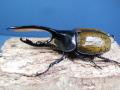 ヘラクレス(オキシ)116ミリ♂♀ペア No.1587