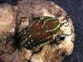 ポリフェムスオオツノハナムグリ幼虫 マット付 No.5385