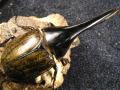 極太系ヘラクレス(ヘラヘラ)♂単品