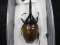 ヘラクレス エクアトリアヌス♂標本