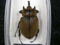 ギアスゾウカブト(ポリオン)♂標本