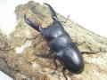 ツシマヒラタ(ホワイトアイ)幼虫 マット付  No.5572