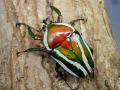 シロヘリミドリツノカナブン幼虫4頭  No.1106